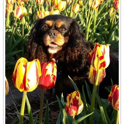 Daisy in den Tulpen von Julianadorp mit 3 Jahren